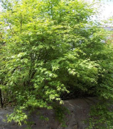 Acer Palmatum / Erable Palmatum Vert