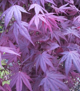 Acer Palmatum Atropurpureum / Erable Pourpre Du Japon