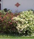Azalea Japonica Blanche / Azalée Du Japon Blanche