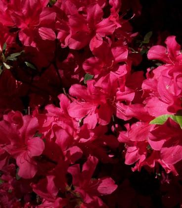 Azalea Japonica Rouge / Azalée Du Japon Rouge
