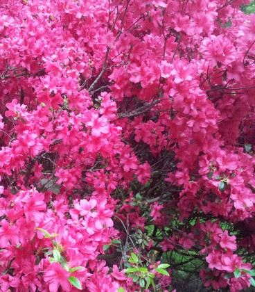Azalea Japonica Rose / Azalée Du Japon Rose