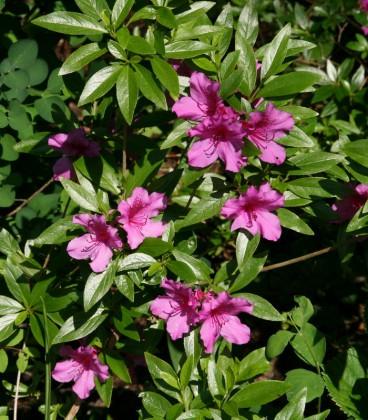 Azalea Japonica Violet / Azalée Du Japon Violet