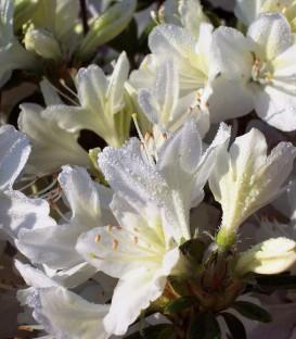 Azalea Mollis Blanche / Azalée de Chine Blanche