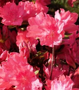 Azalea Mollis Rose / Azalée de Chine Rose