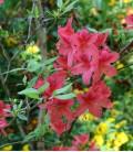 Azalea Mollis Rouge / Azalée de Chine Rouge