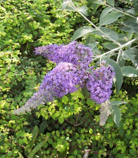 Buddleja Davidii Empire Blue / Arbre à papillons Empire Blue