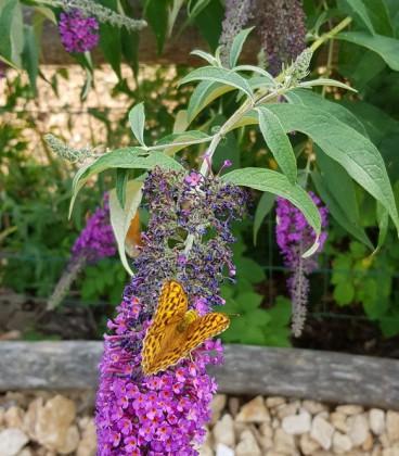 Buddleja Davidii Empire Blue / Arbre à papillons Empire Blue