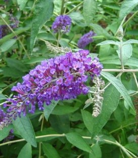 Buddleja Davidii Nanho Blue / Arbre à papillons Nanho Blue