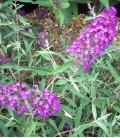 Buddleja Davidii Nanho Purple / Arbre à papillons Nanho Purple
