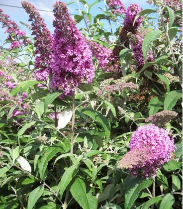 Buddleja Davidii Pink Delight / Arbre à papillons Pink Delight