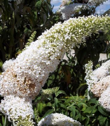Buddleja Davidii White Profusion / Arbre à papillons White Profusion