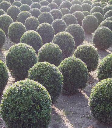 Buxus Microphylla Château / Buis à Bordure