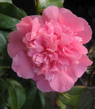 Camellia Japonica Rose