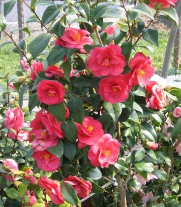 Camellia Japonica Rouge