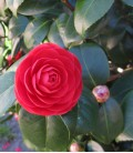 Camellia Japonica Rouge