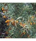 Hippophae Rhamnoides / Argousier