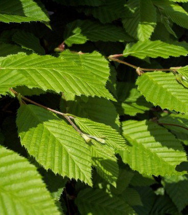Carpinus Betulus / Charme Commun, Charmille
