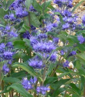 Caryopteris X Clandonensis Grand Bleu ®