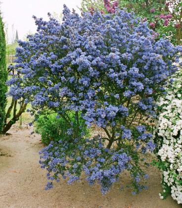 Ceanothus Puget Blue / Ceanothe Puget Blue