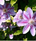 Clematis Nelly Moser / Clematite Nelly Moser
