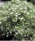 Cornus Alba Elegantissima /Cornouiller Panache