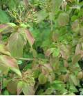 Cornus Sanguinea Origine Locale/ Cornouiller Sanguin