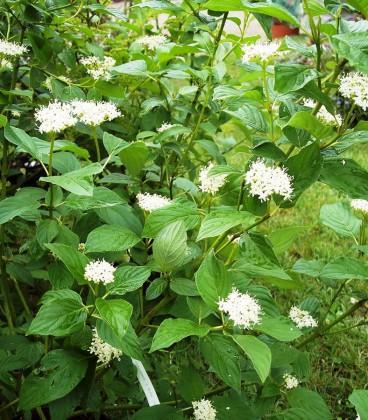 Cornus Sericea Flaviramea / Cornouiller Sericea Flaviramea