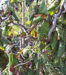 Corylus Avellana Contorta / Noisetier Tortueux