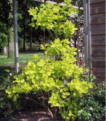 Cotinus Coggygria / Arbre à perruques Vert