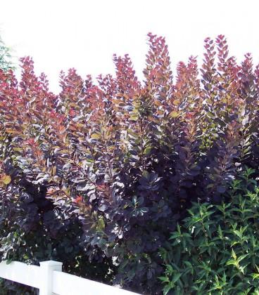 Cotinus Coggygria Royal Purple / Arbre à perruques Pourpre