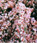 Cytisus Hollandia / Genet Hollandia