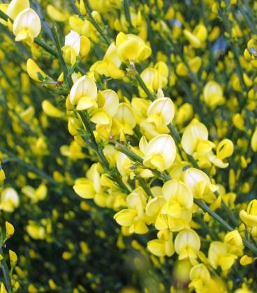 Cytisus Praecox Allgold / Genet All Gold
