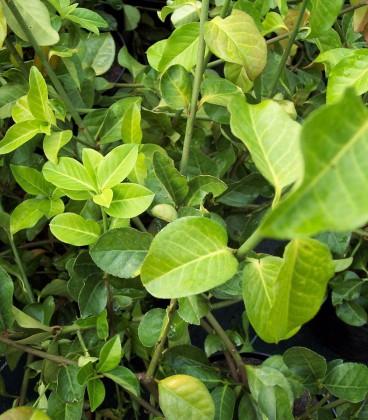 Euonymus Fortunei Coloratus / Fusain Coloratus