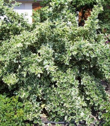 Euonymus Fortunei Emerald Gaiety / Fusain Emerald Gaiety