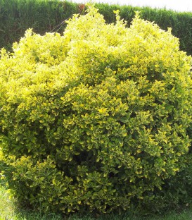 Euonymus Jap. Aureomarginatus / Fusain Aureomarginata