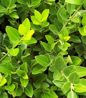 Euonymus Japonicus / Fusain Vert Du Japon