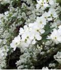 Exochorda Macrantha The Bride