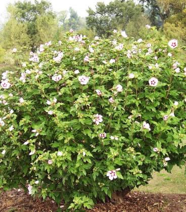 Hibiscus Syriacus Hamabo / Althea Hamabo