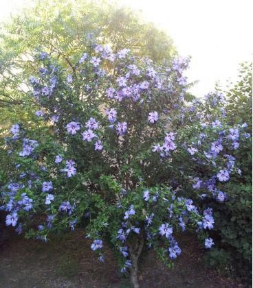 Hibiscus Syriacus Oiseau Bleu / Althea Oiseau Bleu