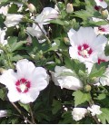 Hibiscus Syriacus Red Heart / Althea Red Heart