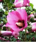 Hibiscus Syriacus Woodbridge / Althea Woodbridge