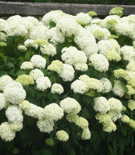 Hydrangea Arborescens Annabelle / Hortensia Annabelle