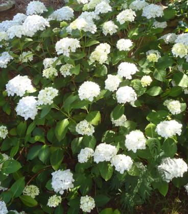 Hydrangea Macrophylla Blanc / Hortensia Blanc