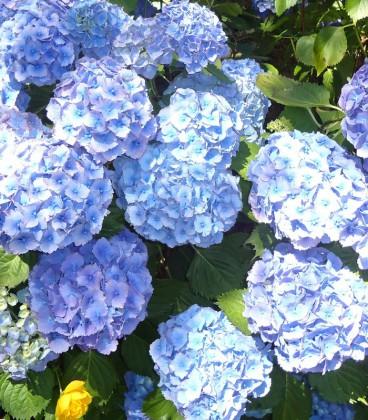 Hydrangea Macrophylla Bleu / Hortensia Bleu