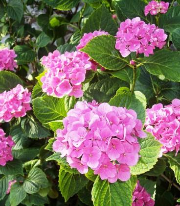 Hydrangea Macrophylla Rose / Hortensia Rose