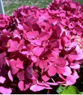 Hydrangea Macrophylla Rouge / Hortensia Rouge