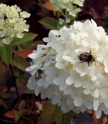 Hydrangea Paniculata Grandiflora / Hortensia Grandiflora