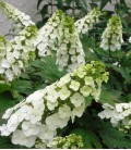 Hydrangea Quercifolia Snow Queen / Hortensia à feuilles de Chene