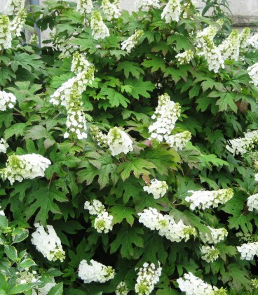 Hydrangea Quercifolia Snow Quéen / Hortensia à feuilles de Chene