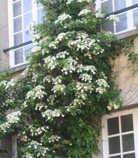 Hydrangea Petiolaris / Hortensia Grimpant